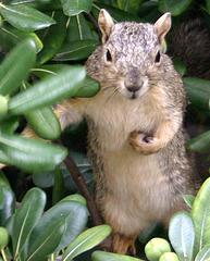 ecureuil noisettes